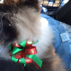 Our ragdoll got a pretty xmas bow and was quite content for A cut above grooming salon