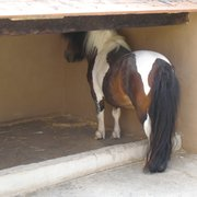 Dem armen Pony war es zu warm