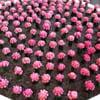 Pink Cactus plants!
