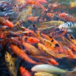 Japanese friendship garden ro ho en koi fish for Japanese friendship garden san jose koi fish