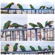 Parrots of san francisco movie
