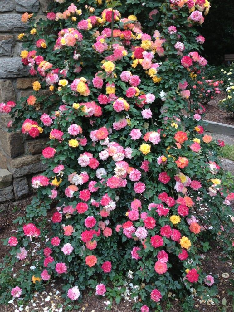 Raleigh Little Theatre Rose Garden Yelp