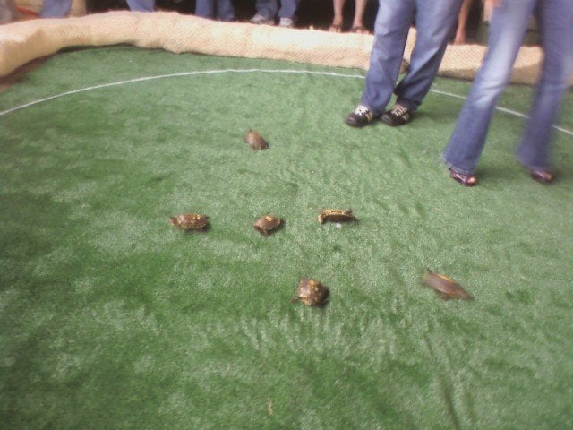 Turtle Race Turtle Races Every Thurs 7