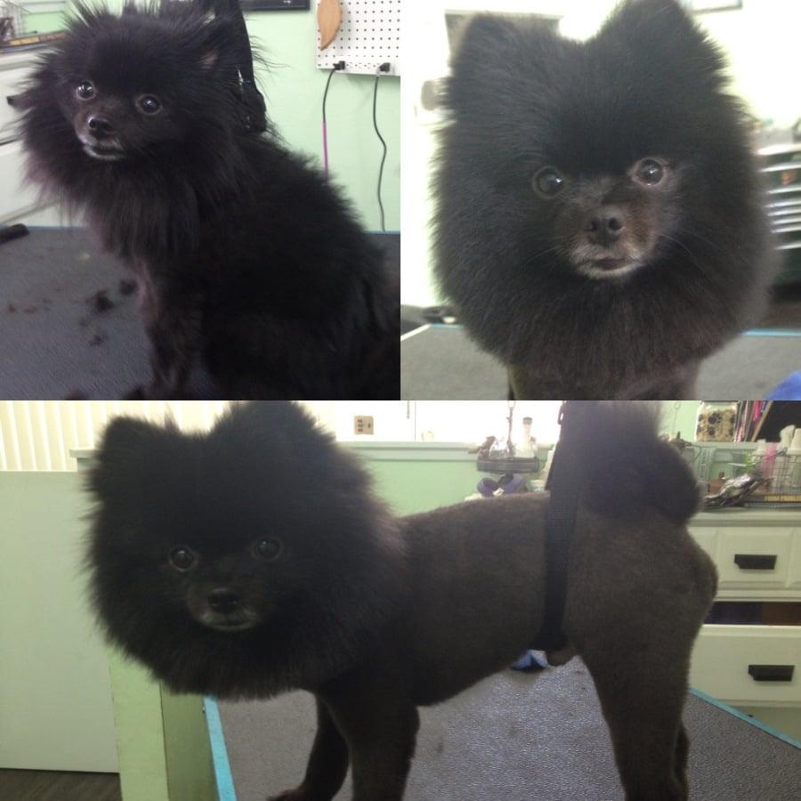 Black Pomeranian Puppy Cut