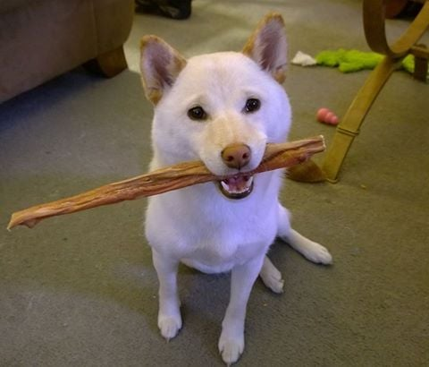 kira the shiba inu says i love my bully stick thank you yelp. Black Bedroom Furniture Sets. Home Design Ideas