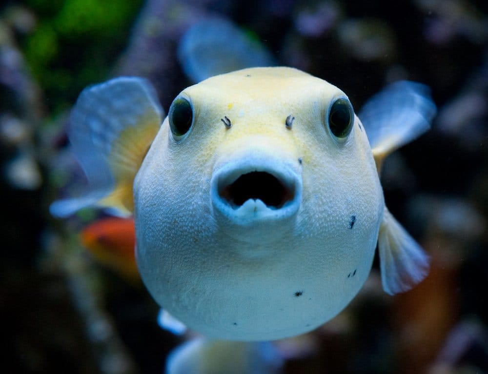 Golden dogface pufferfish yelp for Puffer fish florida