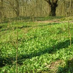 Ein Waldstück voller Bärlauch