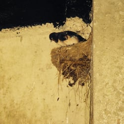 Swallow nests on walkways.