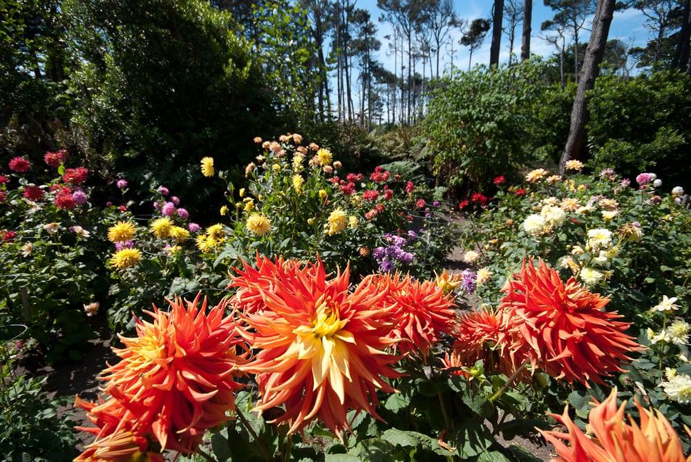 Dahlia garden mid september yelp - Mendocino coast botanical gardens ...