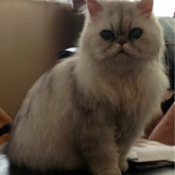 Lastest Alfa Img  Showing Gt Persian Cats Hair Cuts