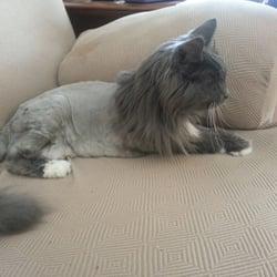 Lion cat breed