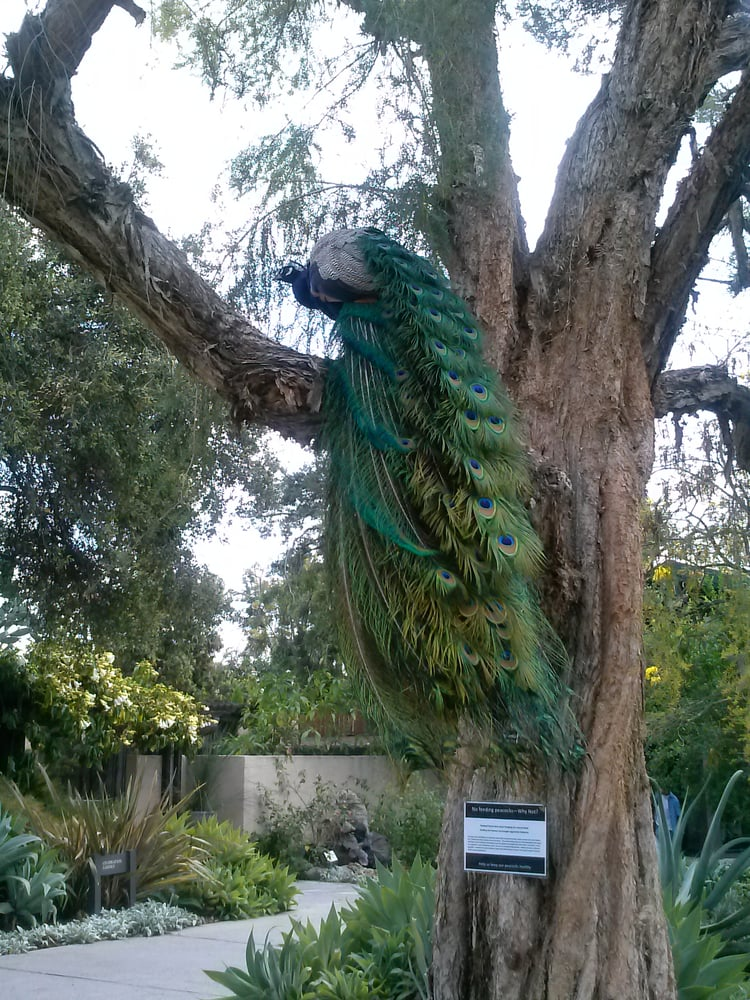 1 Of The Many Peacocks Yelp
