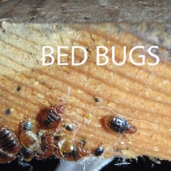 Image Result For How To Remove Bed Bugsa