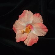Pretty shades of peach Hawaiian Hibiscus flower clip on a metal srprung clip