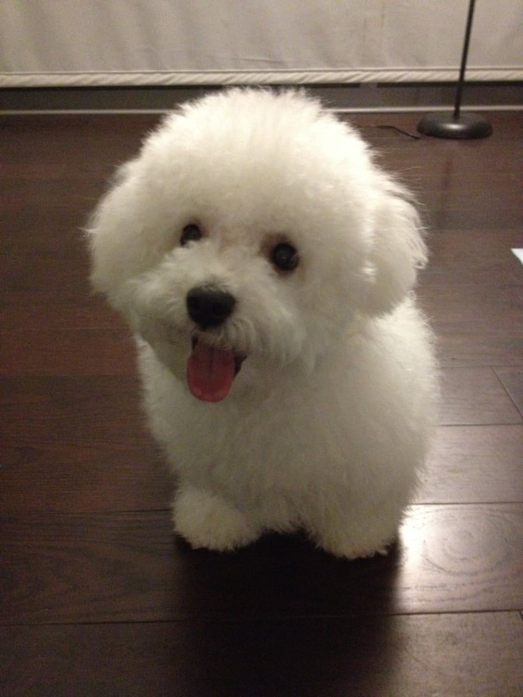 My bichon frise charlie came back from grooming the price for A shear pleasure pet salon