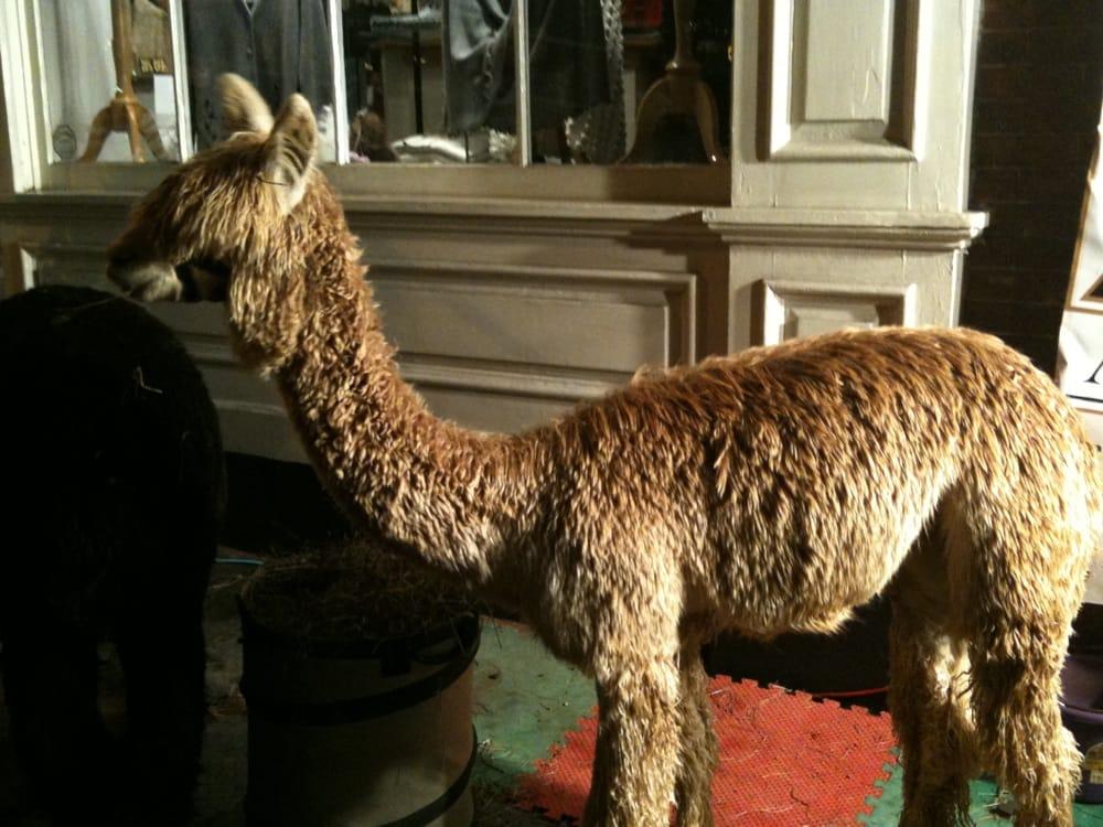 Alpacas on Midnight Madness 2011 | Yelp