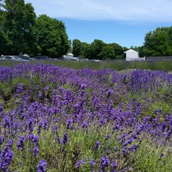 Lavender Farm Eastern Long Island