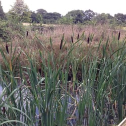 Rushes in the wild flower area