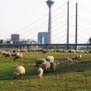 Schäfer auf den Oberkassler Rheinwiesen, Düsseldorf, Nordrhein-Westfalen, Germany