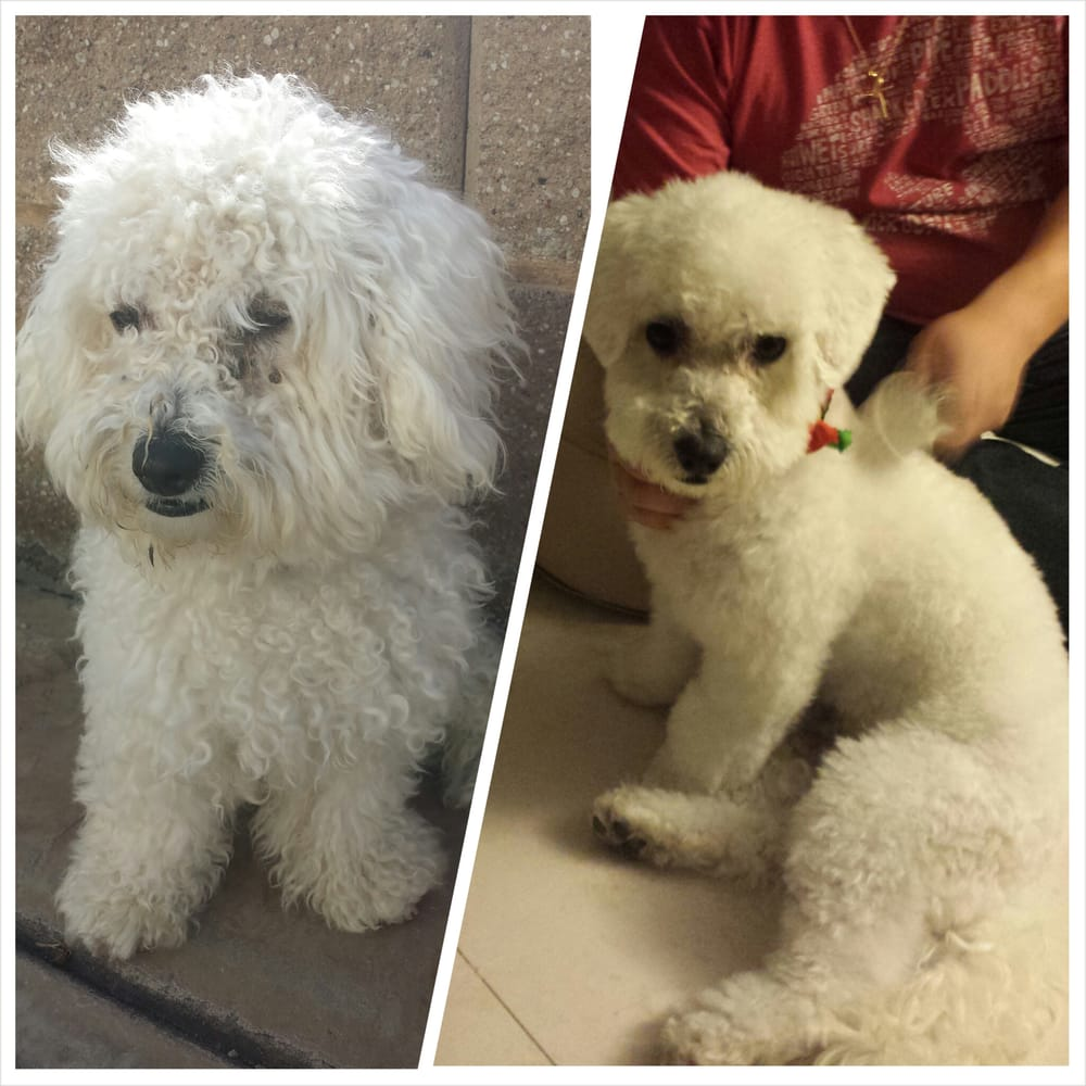 Maltipoo Haircuts Before After Models Ideas