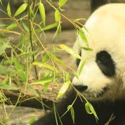 Zoo de Beauval / Huan Huan & Yuan Zi