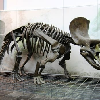 Triceratops - a horned herbivore from the Cretaceous period.