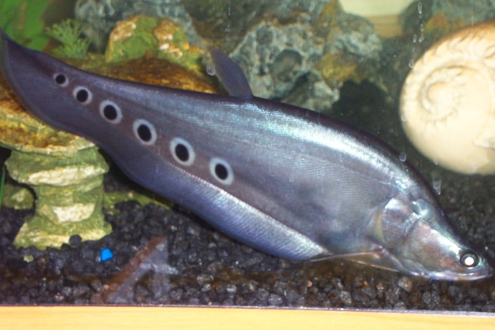 Our knife fish kutchi japanese for big mouth yelp for Japanese fish knife