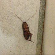 Holiday Inn Express SANTA NELLA - Cockroach! Disgusting. Do not stay here. - Gustine, CA, Vereinigte Staaten