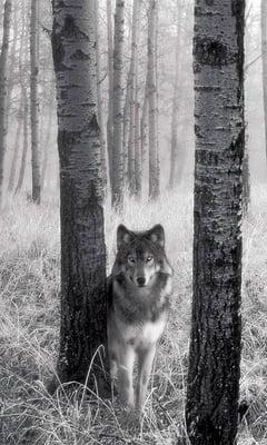 Wolf F.