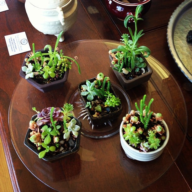 Mini Succulent Bonsai In Glazed Japanese Garden Planters