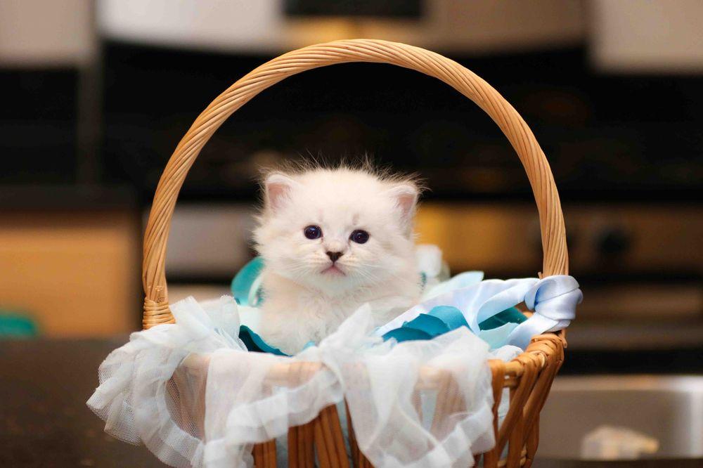 Virginia Kittens