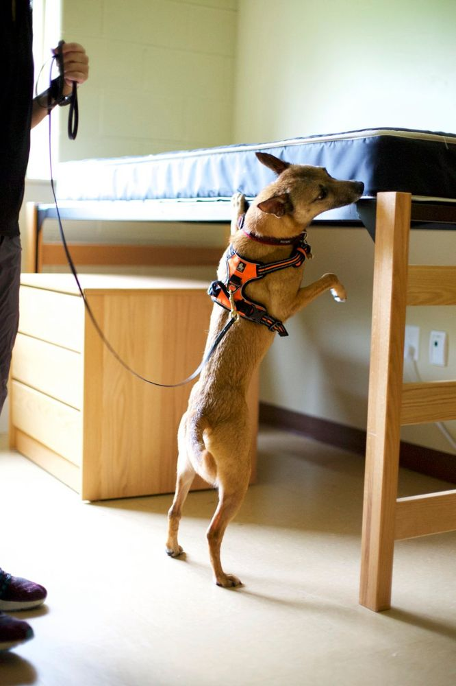 Bed Bug Detection K9s: Inman, SC