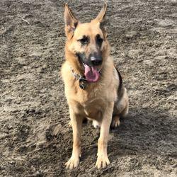Washington German Shepard Rescue Pet Adoption Pioneer Square