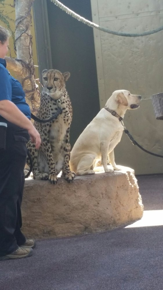 Cheetah And Labrador Retriever Buddy Up Close On The Animals In