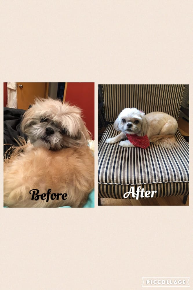 Before and after of our Shih Tzu, Frodo. Thank you Happy ... - photo#28