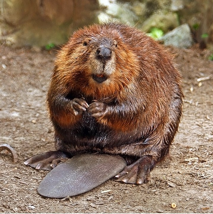 Busy Beavers: Pounding Mill, VA