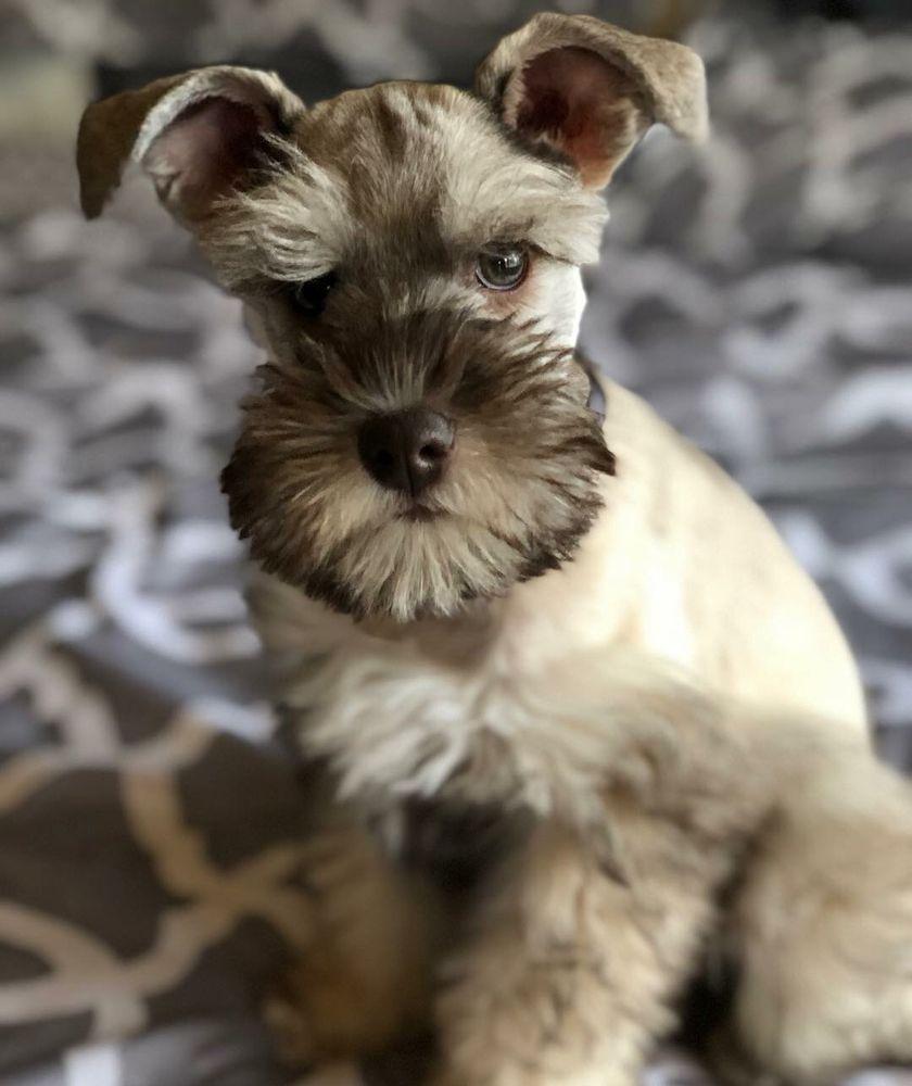 Piedmont Pups Mini Schnauzers: Lawndale, NC