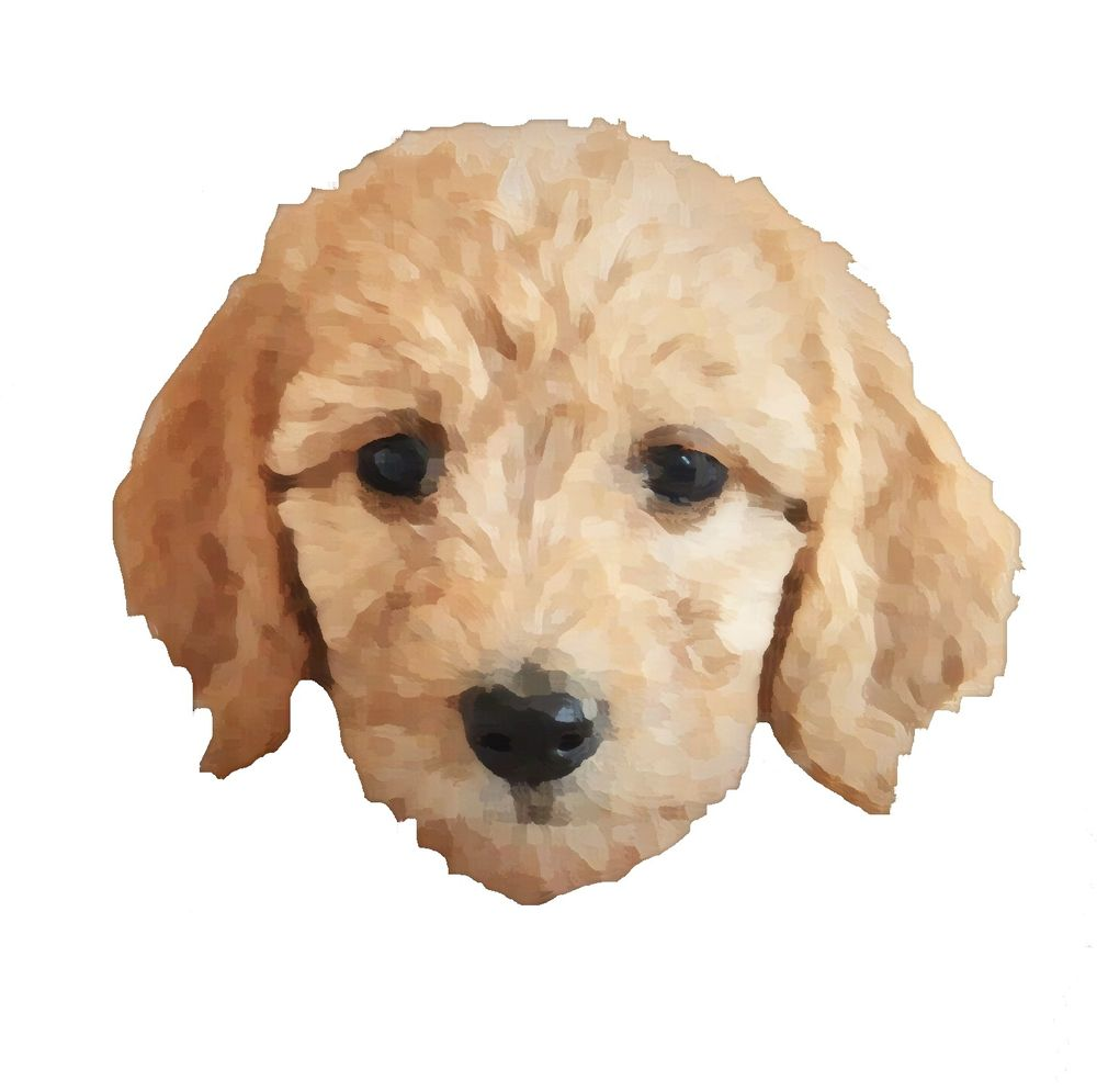 Artisan Labradoodles and Goldendoodles: Payson, UT