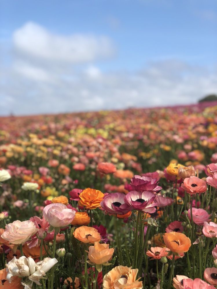 The Flower Fields: 5704 Paseo Del Norte, Carlsbad, CA
