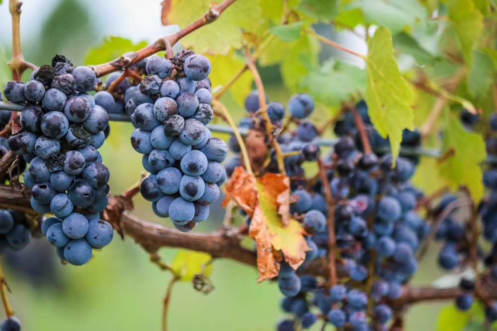 White Fox Vineyards: 14491 Fm 773, Murchison, TX