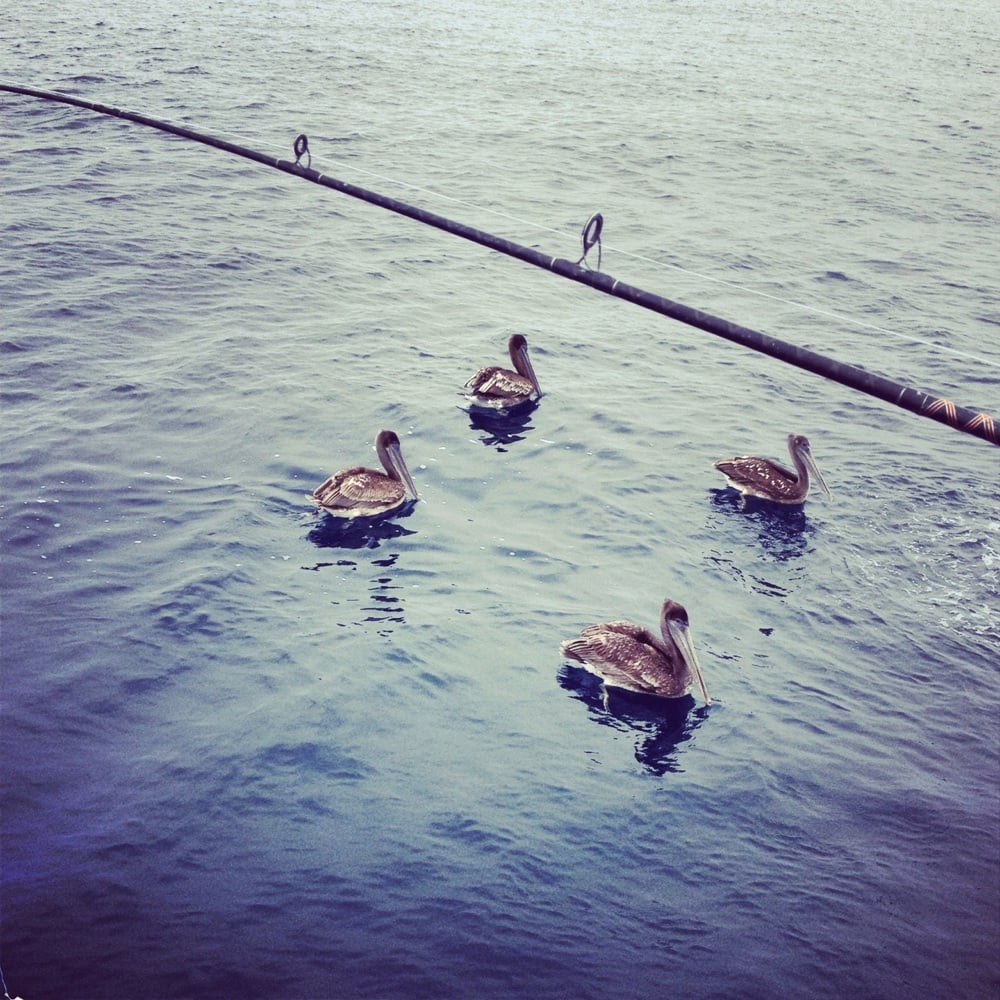 Be careful with the pelicans they will snatch your fish for Marina del rey fishing report