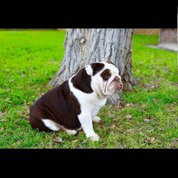 Mermo Bulldog Puppies 45 Photos Pet Breeders Southwest