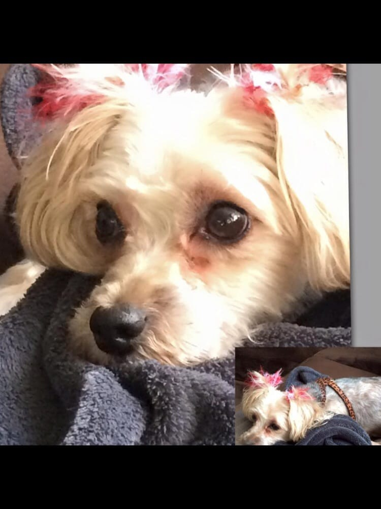 Ravens First Cut At Grooming Dales Shes A Yorkie Bichon Mix And