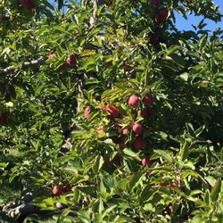 gould hill apple orchards 24 fotos 12 beitr ge. Black Bedroom Furniture Sets. Home Design Ideas
