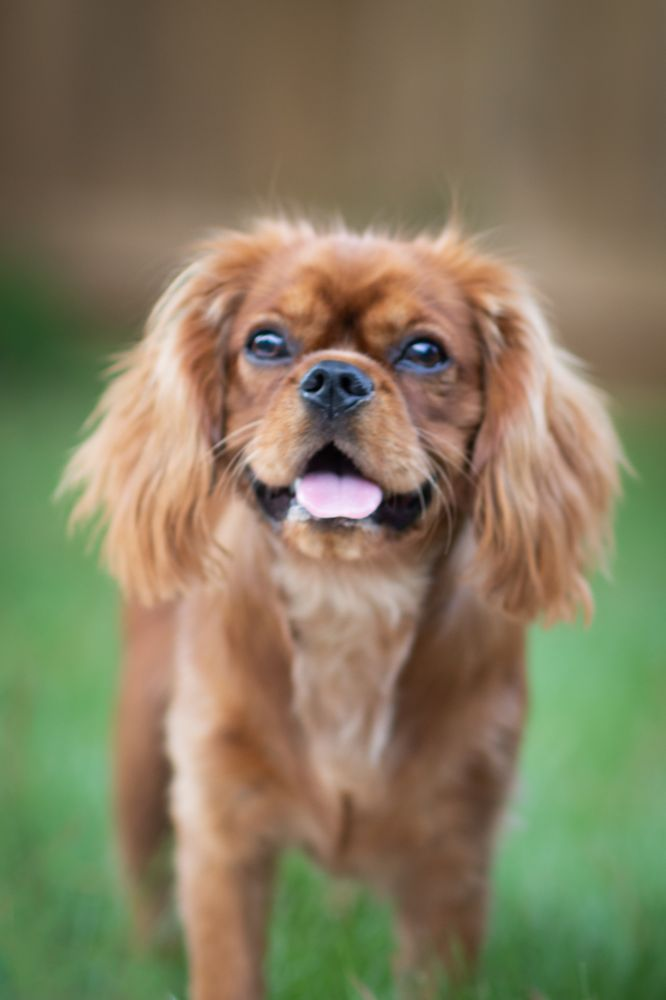 Cavaliers by Crumley: 8730 Forrester Rd, Lula, GA