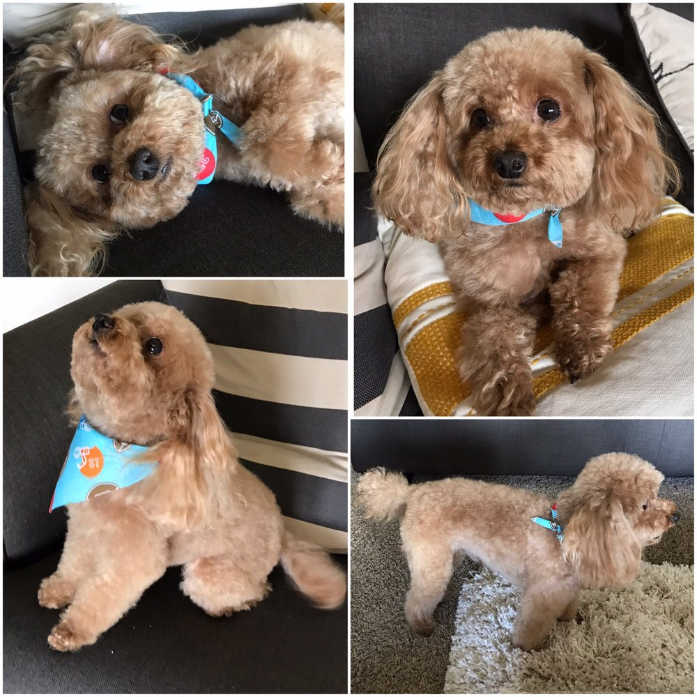 Love Our Toy Poodles Haircut Yelp