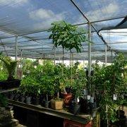 Size Alano Photo Of Mimosa Nursery Los Angeles Ca United States