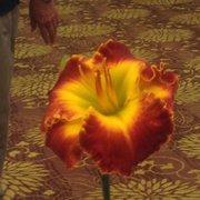 Daylily Foto De Hilton Garden Inn Pearland TX   Pearland, TX, Estados  Unidos ...