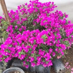 Photo Of Carreon Nursery Rosemead Ca United States Bongavilla Flowers 15 Gal