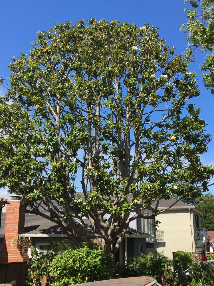 Large Magnolia Tree Pruned By Ian Butler Yelp